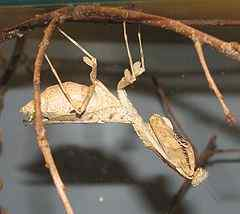 One of many animals with camouflage: a dead leaf mantis