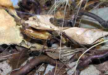 A camouflaged animal: a dead leaf mantis